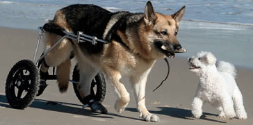 dog carts give a new life to an injured dog